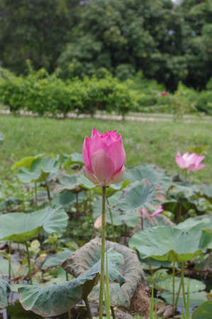The heart lotus No.1 photo