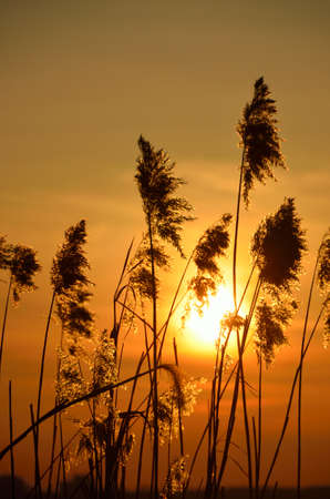 Sun shining through the reed.