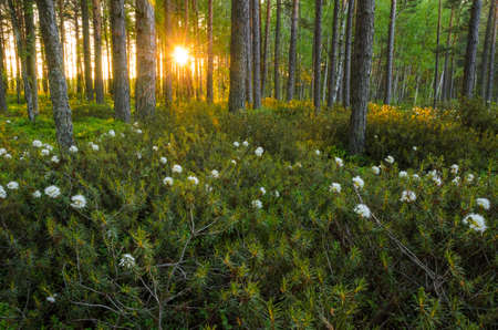 palustre: Sun shining through the forest trees in the morning. Rhododendron tomentosum (Ledum palustre) in foreground.