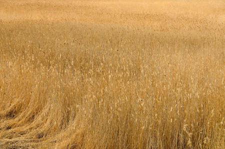 Roseaux secs dans le champ près de la rivière. Banque d'images - 78757027