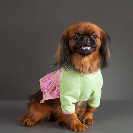 pink dress: Portrait of Pekingese dog with light green and pink dress on gray background.