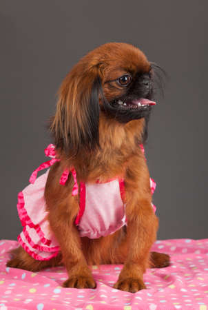 pink dress: Portrait of Pekingese dog with pink dress on pink blanket on gray background. Stock Photo
