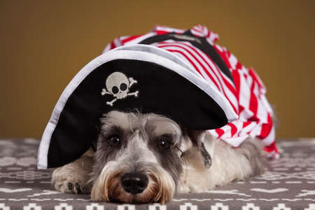 sombrero pirata: Schnauzer dog with a pirate hat and white and red suit. Yellow background.