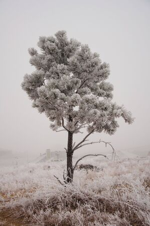 White tree under the Colorado winter photo