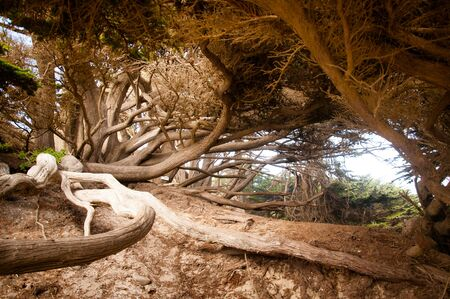 Tree roots and trunk in Big Sur California photo