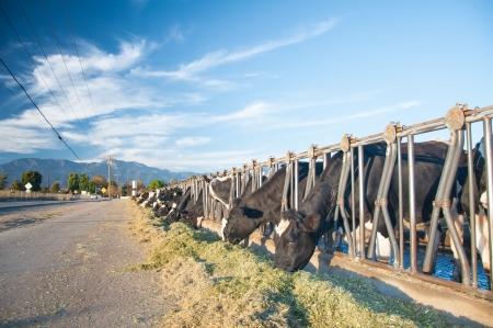 Californa Kühe fressen Straßenseite unter einem hellen schönen blauen Himmel Standard-Bild - 16646829