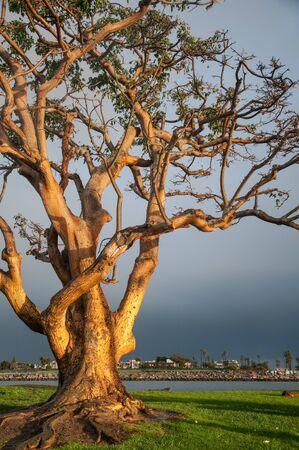 a cedar: Tronco de árbol viejo en la costa de California