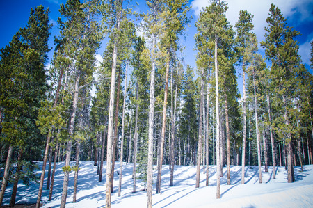 Pine tree trunks in forets over winter snow photo