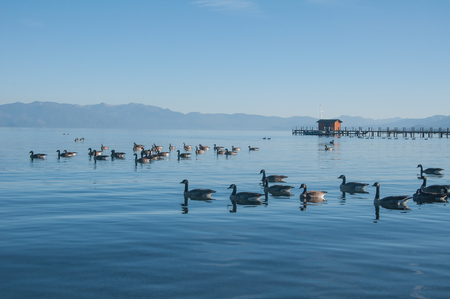 Ducks swiming in formation in the clear blue Lake Tahoe
