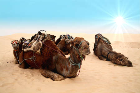 4 camels in sahara desert and blue sky photo