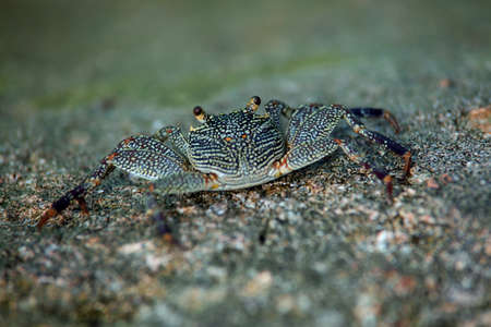 inquisitively: Closeup of small marine crab basking on a rock looking inquisitively at the camera with shallow doff