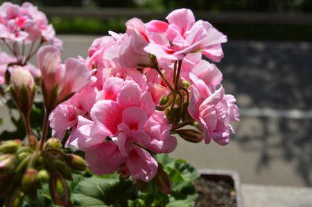 Geranium in the Black Forest Standard-Bild