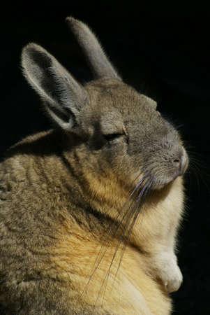 montane: Nice vizcacha in Portrait
