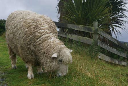 Grazin sheep in new zealand Stock Photo - 7804110