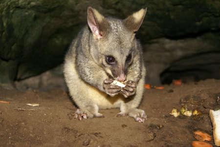 possum: Feeding possum, Australia