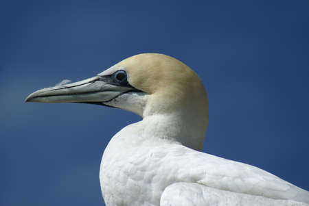 booby: Masqued booby in portrait, australia Stock Photo