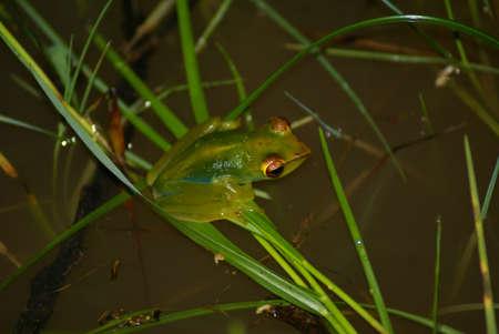 subtropics: Rana verde di piccole dimensioni in uno stagno, Borneo, Malesia  Archivio Fotografico