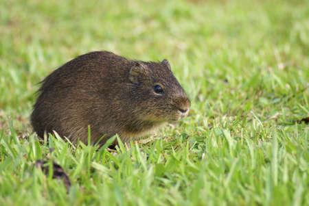 pastureland: Small mammal, pastureland - argentina