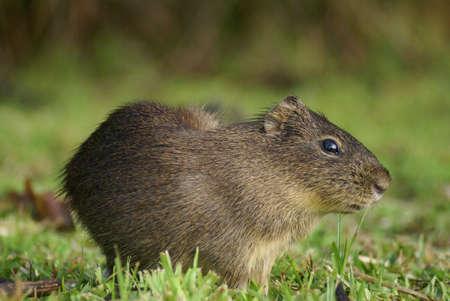 pastureland: Small mammal scratching, pastureland - argentina Stock Photo