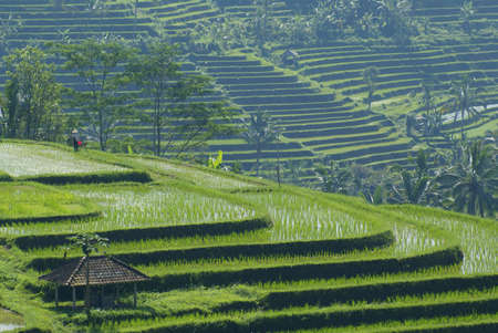irrigated: Irrigated rice fields in central Bali Stock Photo