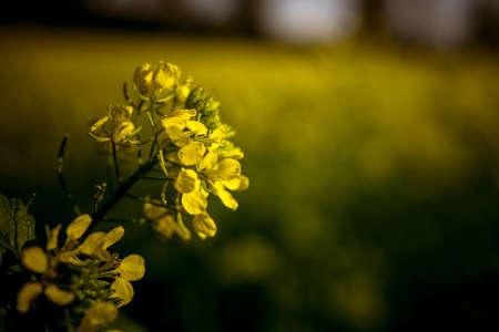 Isolated yellow rape
