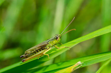 grasshopper on a grass Standard-Bild