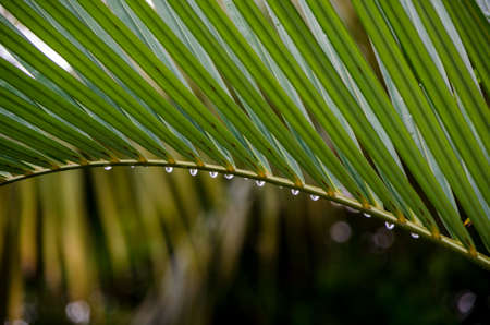 Leaf of a Palm