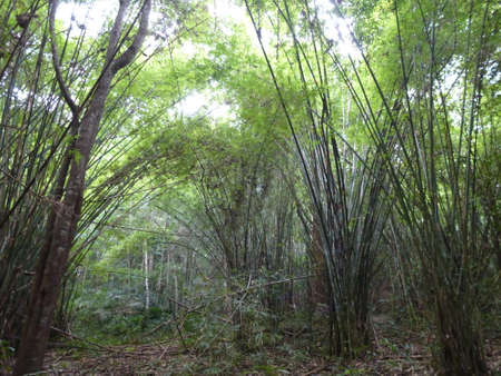 Bamboo trees in Nam Nao National Park in Thailand