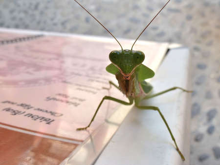 Closeup of a cute praying mantis insect