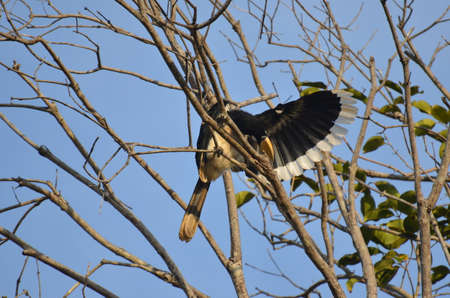 Beautiful Oriental pied hornbill at Koh Chang Ranong in Thailand