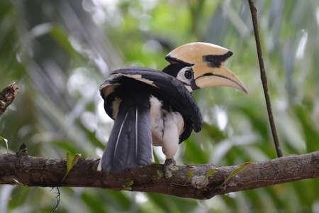 Beautiful Oriental pied hornbill at Koh Chang Ranong in Thailand Stock Photo