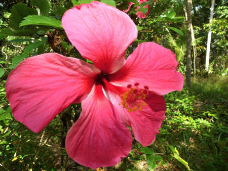 Closeup of a eautiful red hibiscus flower