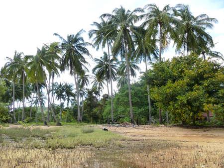 Palm trees at Ko Chang Ranong Island in Thailand