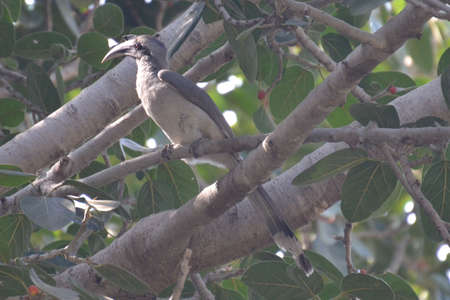 Common gray hornbill is sitting in a tree