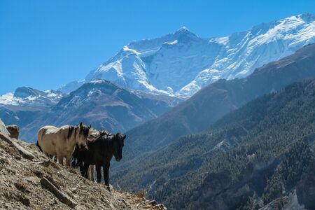 Wild horses in the Himalayas in Nepal. The trekking tour in Annapurna region offers many surprises
