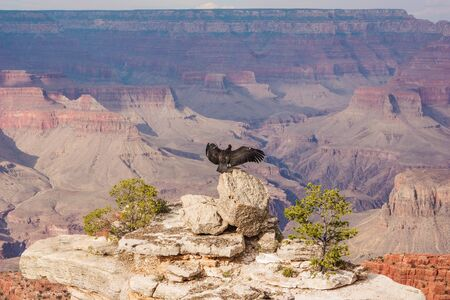 A californian condor ready to fly facing the Great Canyon in the USA. This is the defintion of freedom.