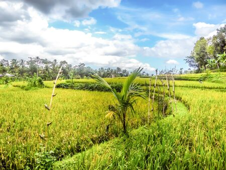 Rice field shining in bright green colors in Indonesia.One sole palm tress marks its appearance on the endless fields of rise.  Tetebatu is Lomboks rice terrace heaven.