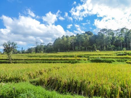Rice field shining in bright green colors in Indonesia. Tetebatu is Lomboks rice terrace heaven. Endless paddies of rise, spreading on great distances.