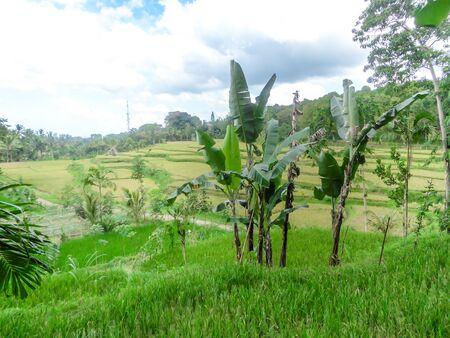 Rice field shining in bright green colors in Indonesia. Tetebatu is Lomboks rice terrace heaven.