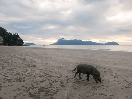 Wild Pig on the beach in Borneo, Bako National Park of Malaysia. Animal playing on the beach by the sunset, soft colors, mountains in the back.