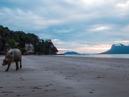 Wild Pig on the beach in Borneo, Bako National Park of Malaysia. Animal playing on the beach by the sunset, captured on the left side of the picture, soft colors, mountains in the back.