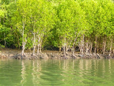 A lush green mangrove jungle captured from the river surface. Jungle is healthy and nicely blossoming. Water has a vivid green color too. Healthy ecosystem. Imagens