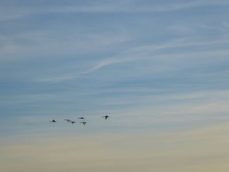 A flock of birds crossing the morning sky. A group of birds forms a nice formation. The birds migrate to a warmer country for winter. Sky has very soft colors