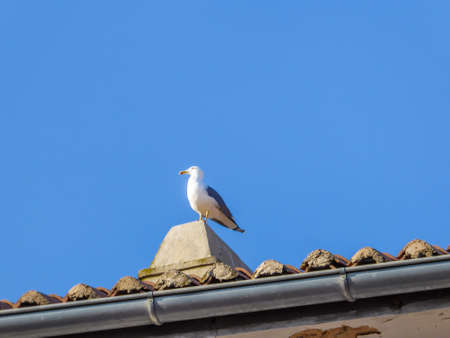 A big white and grey seagull standing on the top of the chimney, on very tall rooftop. Seagull is looking straight, seems really concentrated on one point. Te sky is clear and blue.