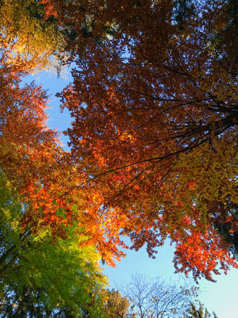 The tree crowns changing colors for autumn. The trees have red, orange, yellow and green leaves. Warm and sunny day. A few sun beams coming through the leaves. Serenity and calmness. Forest meditation 스톡 콘텐츠