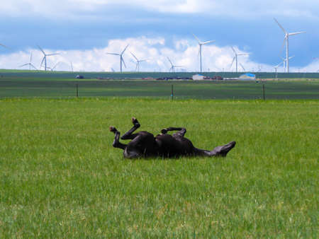 A horse rolling on its back under wind turbines build on a vast pasture in Xilinhot, Inner Mongolia. Natural resources energy. Endless grassland. Blue sky with white, thick clouds. Happiness and fun 免版税图像