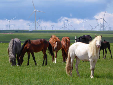 Heard of horses grazing under wind turbines build on a vast pasture in Xilinhot, Inner Mongolia. Natural resources energy. Endless grassland. Blue sky with white, thick clouds. Natural habitat