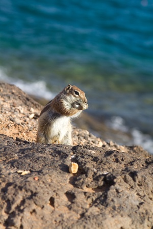 breeding ground: Ground Squirrel from Africa now breeding in Fuerteventura