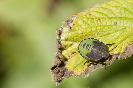 Scudo Bug close up su una foglia