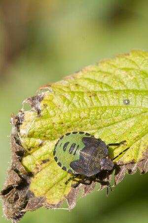 shield bug: Shield Bug close up on a leaf